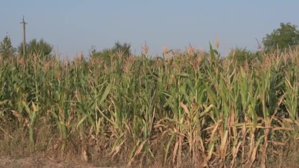Kukuřičné pole na poli.