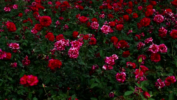 Flower bouquet of roses blooming, red roses leaves of green.