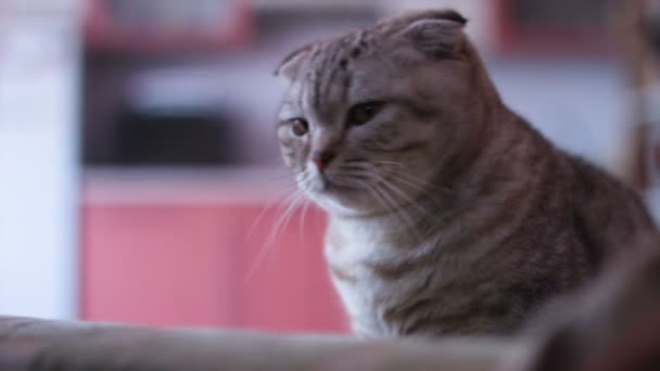 Scottish fold cat look around. Whisks color.