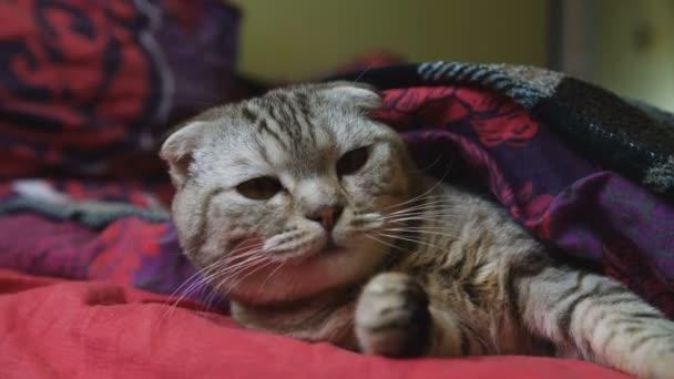 Közelkép a fáradt cirmos cica ásítás.