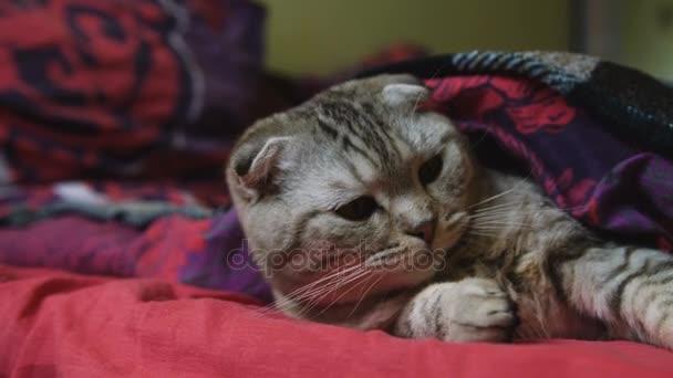 Nahaufnahme müder gestromter Katzen gähnen.