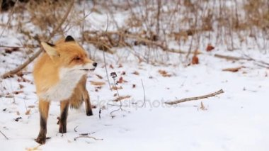 Red Fox Vulpes vulpes during the winter with the snow covered ground