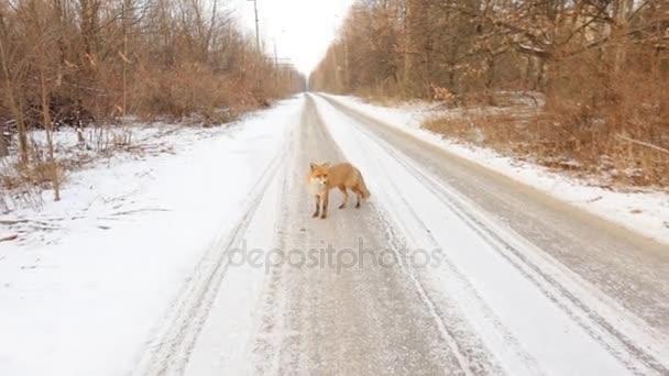 Volpe rossa Vulpes vulpes durante linverno con la neve coperto terra