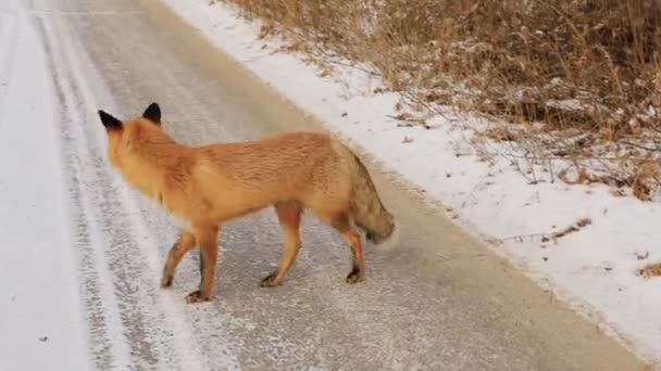 Vulpes Vulpes liška v zimě sníh pokryl