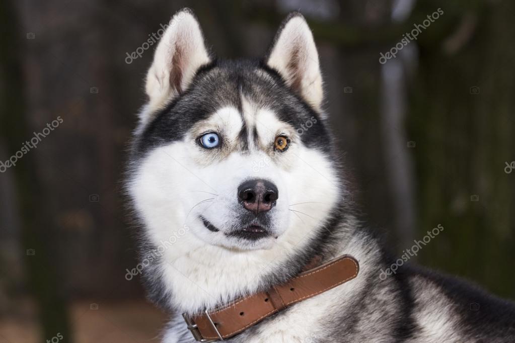 Portrait Of Siberian Husky Black And White Color Stock Photo
