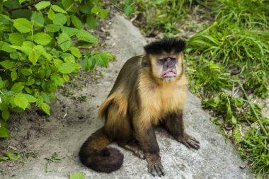 Monkey Rhesus macaque enjoying the shade tree.