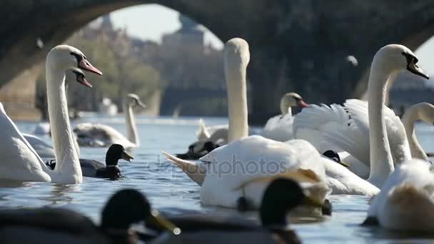 Gyapjú fehér hattyúk, nem messze a Károly-híd, ban lassú úszás