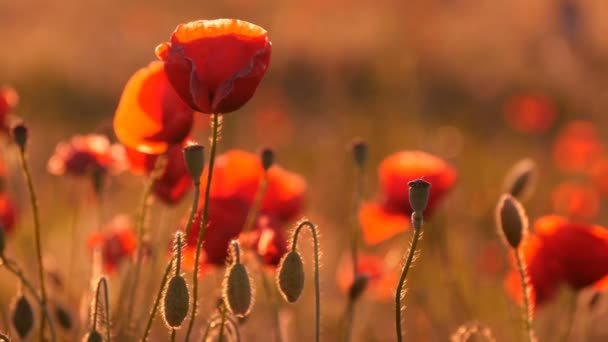 Yellow and red poppies waving in a beautiful poppy field in Ukraine in summer