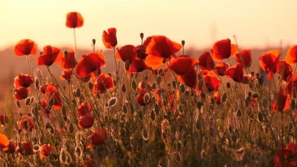 Červené máky ohromit svou krásou v ukrajinské oblasti ráno