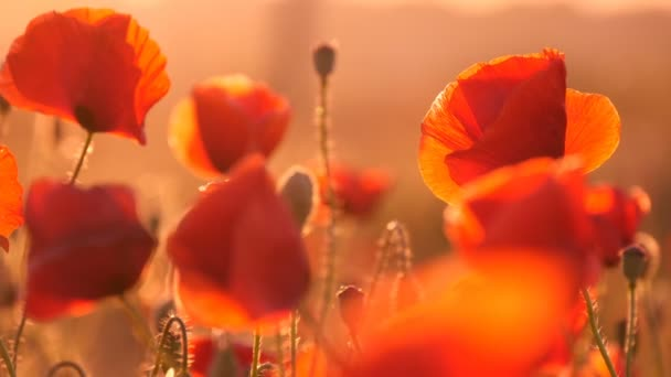 Closeup of beautiful red poppies on a huge poppy field in Europe at sunrise