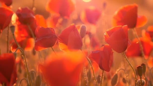 Piros Pipacsok szirmait pályázati van, integetett a szél fúj, napkeltekor
