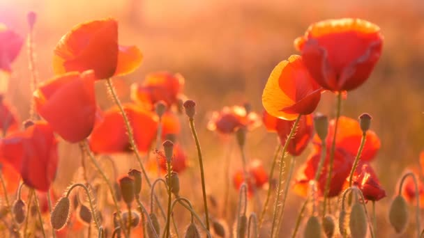 Beautiful red poppies in Eastern European field under the rays of a summer sun