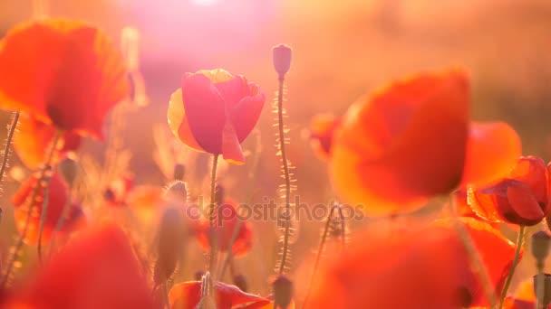 Červené makové pole pod paprsky krásné svítání na Ukrajině v létě