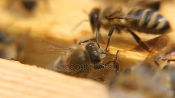 Makro snímek včely hledají něco dřevěný povrch úl v letním dni