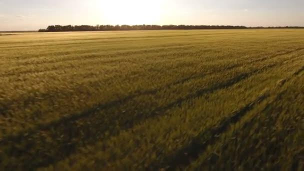 Letecký průzkum pšeničné pole při západu slunce
