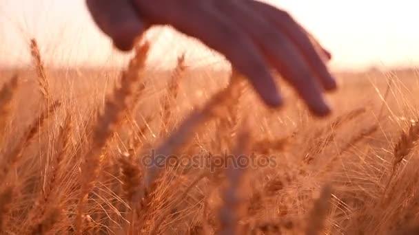 Ženská ruka pohybuje hroty zralé pšenice při západu slunce v pomalém pohybu