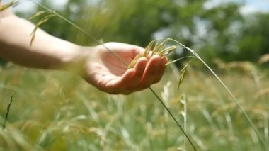 A female hand takes a grass seed on a green field on a sunny day in slo-mo