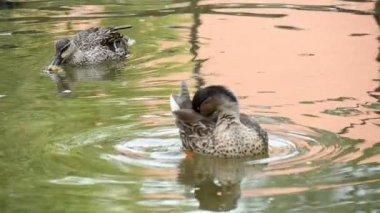 Wild gray ducks plavabt on the pond