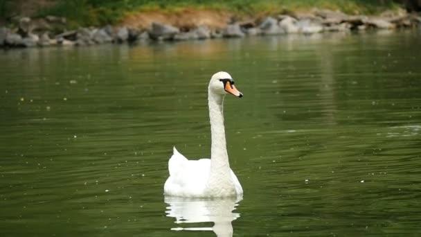 Elegáns fehér hattyú, úszás a tóban zöld vízzel, nyáron a slo-mo