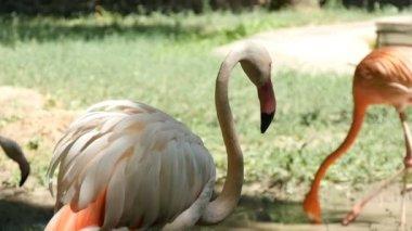 Several pink and orange flamingoes walk along a lake bank in summer in slo-mo