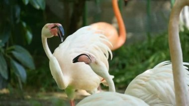 A flock of flamingoes are on the bank of some pond in some Eastern European zoo