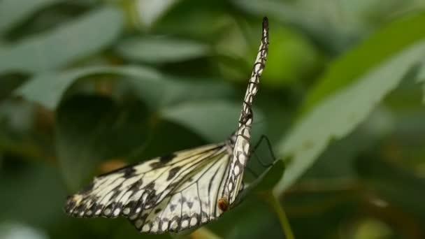 Černá a bílá motýl vlny křídly na tropická květina na slunečný den v létě