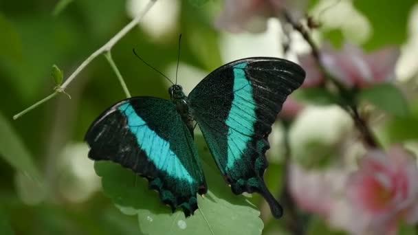 Nádherné černé a modré můra motýl je zastřelen nahoru dolů v lese v létě