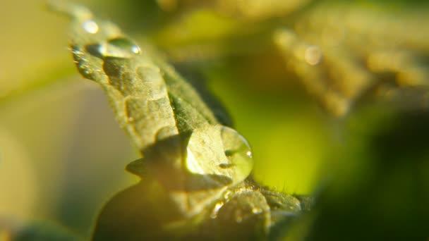 Kapky rosy se objeví náhle na zelený list v zahradě na slunečný den na jaře bohémský makro shot z několika křišťálově čisté kapky rosy objevují na zelený list nějaké květiny v zahradě za slunného dne v létě