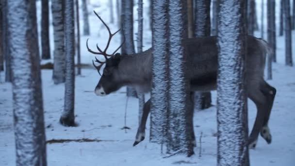 Krásný ušlechtilý jelen kráčí opatrně a pomalu v zimním borovicovém lese ve Finsku Nádherný pohled na velkého ušlechtilého jelena, který kráčí opatrně a hledá potravu v hustém borovicovém lese se sněhem ve Finsku v zimě. Vypadá to umělecky a hezky..