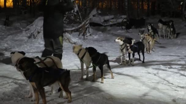 zehn an einen Schlitten gebundene Hunde bellen bereit für Hundeschlittenfahrten in Finnland im Winter Beeindruckende Aussicht auf eine Gruppe Hunde bereit für Hundeschlittenfahrten und energisches Bellen, während sie ihr Herrchen im Winter in einem verschneiten Wald in Finnland sehen.