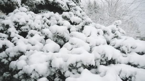 Spruce twigs covered with shining dense snow in a forest in winter in slow motion        Amazing view of a winter spruce forest branches and twigs covered with thick snow on a sunny day in winter in slow motion. It looks magnificent and mysterious.