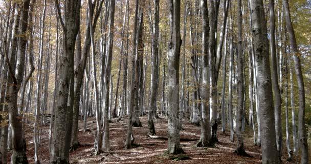 Podzim v bukového lesa. Krásné stromy během podzimu listů.