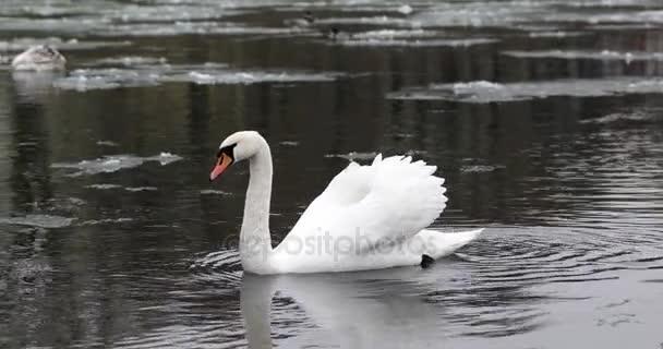 Wildvögel im Fluss. Enten und Schwäne schwimmen im Fluss unter dem Schnee