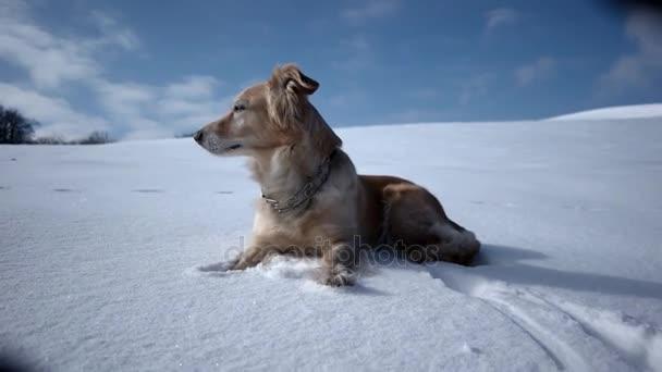 Zlatý retrívr pes těší zimní hrát a zábava na sněhu