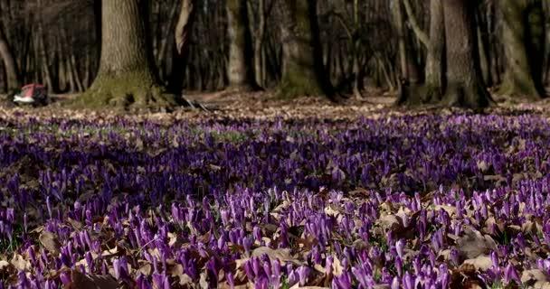 Fialový Crocus kytice pole s Valley Oaks stromy v době jarní květinové sezónní přirozená, posouvání pohledu