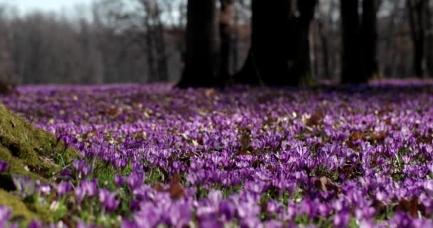Violet Crocus Wild Flowers Field With Oaks Trees Valley at Spring Time, Natural Floral Seasonal Background, Panning View
