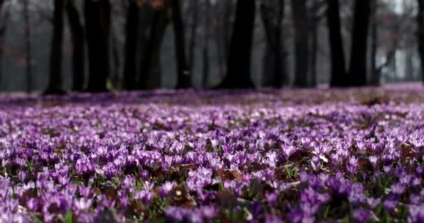 Lila Crocus vadvirágok mezőt Oaks fák Valley egyidejűleg tavaszi természetes virágos szezonális háttér, panoráma kilátás
