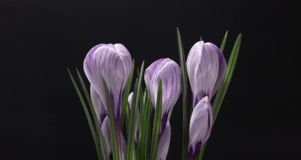 TimeLapse lila Crocus virág, virágzó és a fakulásnak, a fekete háttér