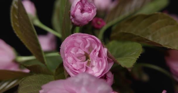 Snítka kvetoucí Sakura na černém pozadí. Makro Shot časová prodleva