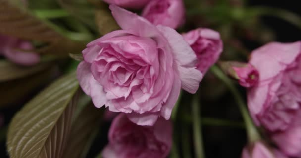 Sprig Blooming Sakura on a Black Background. Macro Shot Time Lapse