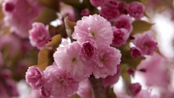 Pink Beautiful Japanese Cherry Blossoming of Sakura Tree Closeup in Broad Daylight on Natural Background