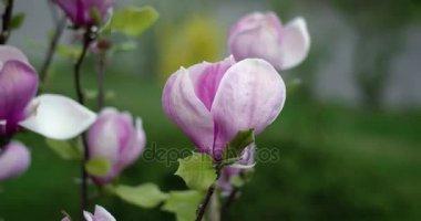 Květy x Soulangeana růžové magnólie během slunný jarní den v parku