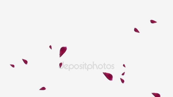 Soaring okvětními lístky růží červené na bílém pozadí