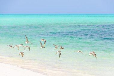 Birds flying in Cayo Levisa Island in Cuba