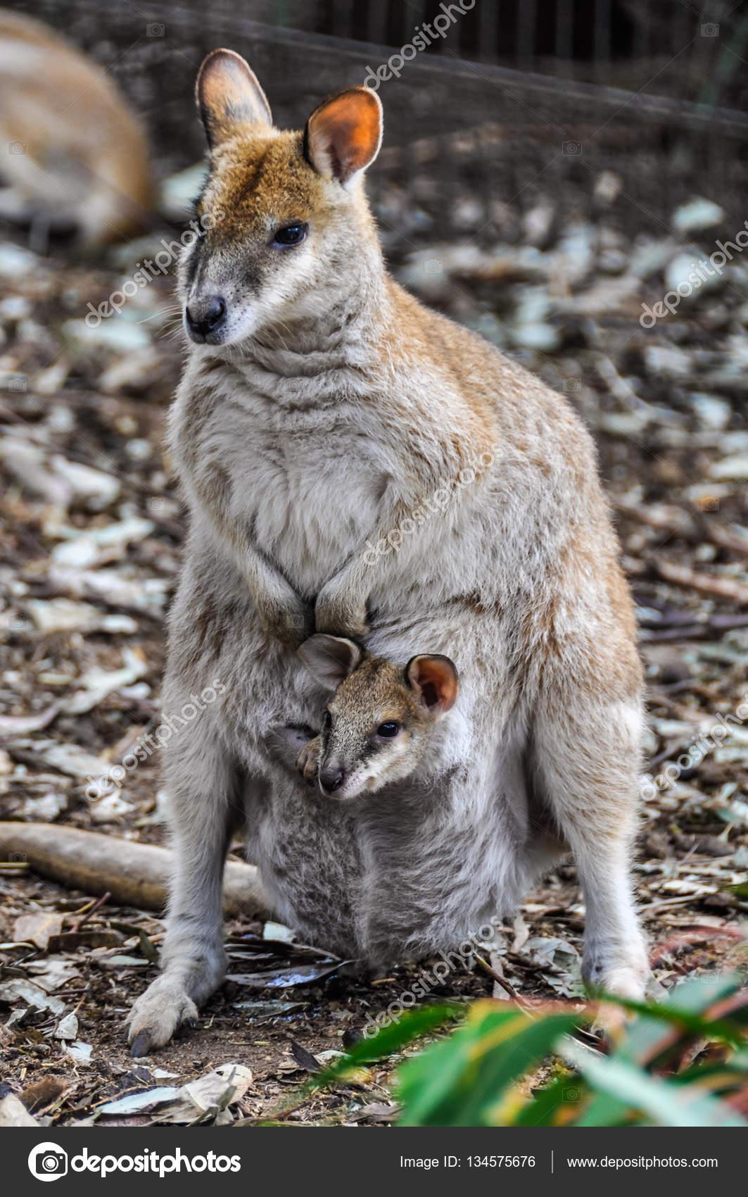 495e7f783 Mamá Canguro con su bebé en el Featherdale Wildlife Park cerca de Sídney,  Australia - fotos: canguro bebe — Foto de kovgabor79