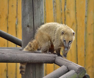 This is Nosuha, which is also known as Coati.