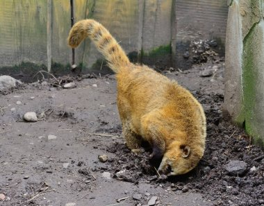 Coati animal is very attentive and beautiful