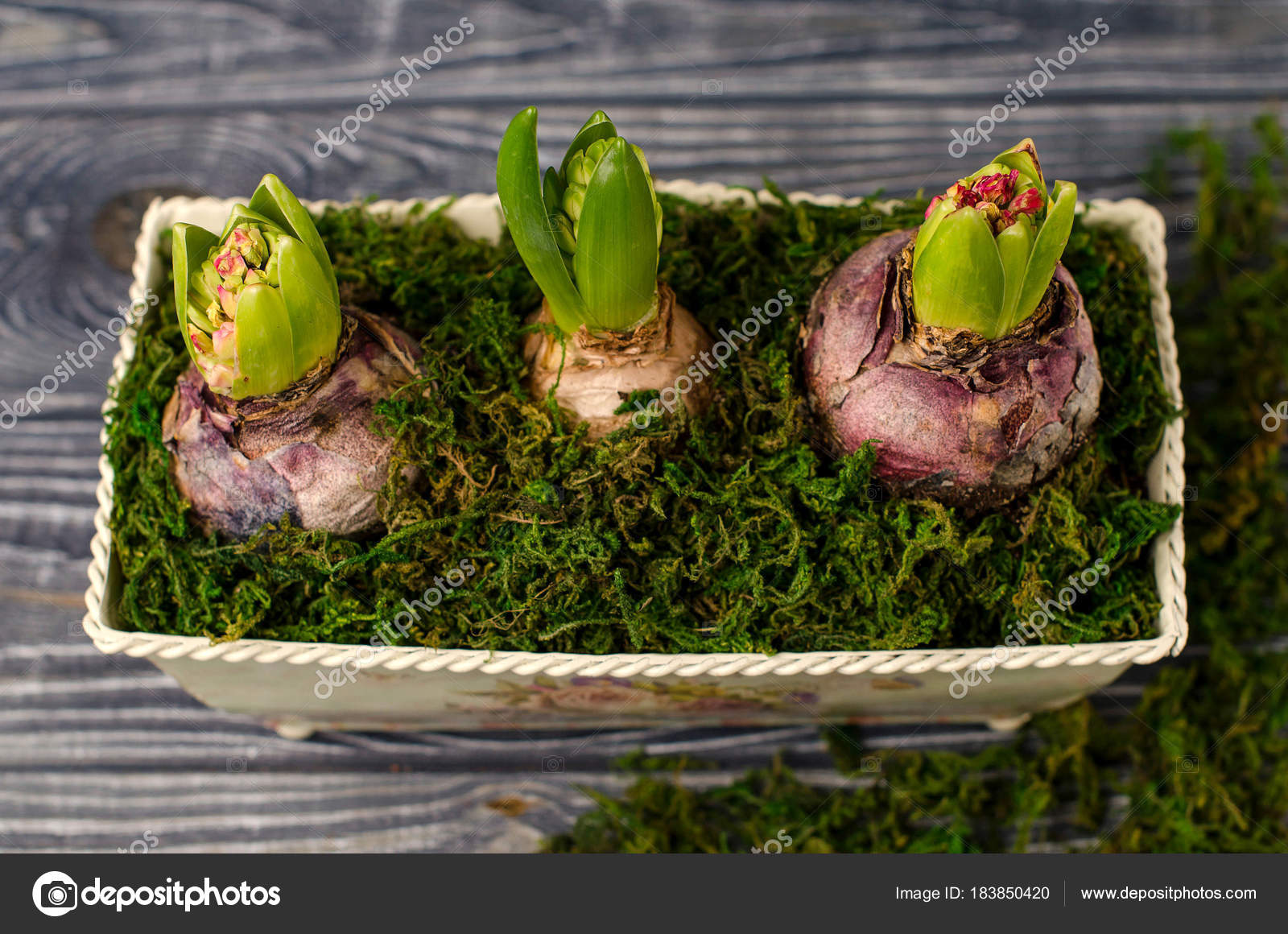 Growing Spring Flowers Hyacinths Stock Photo Natalieina17