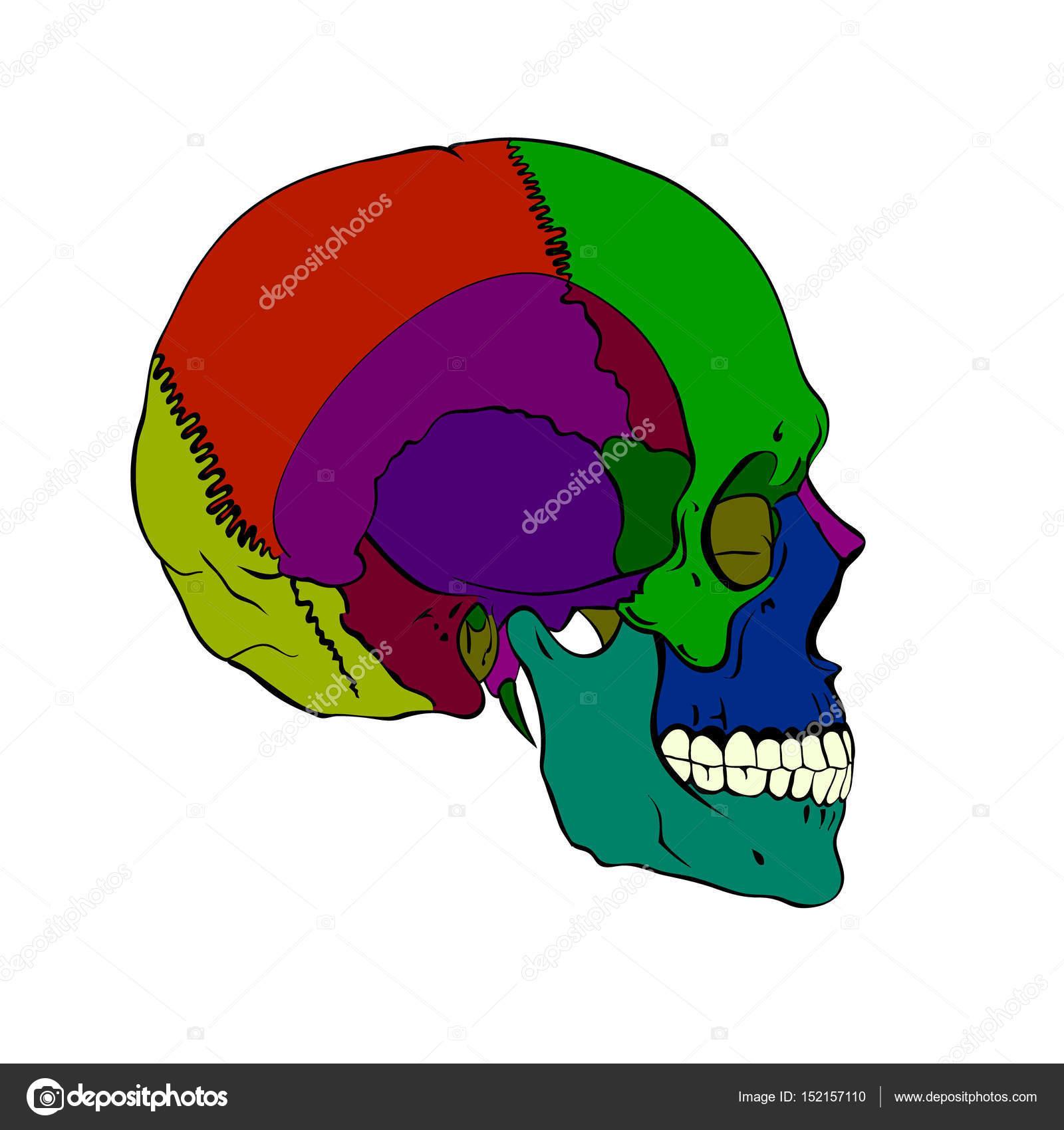 cráneo humano coloreado con una quijada más baja — Vector de stock ...
