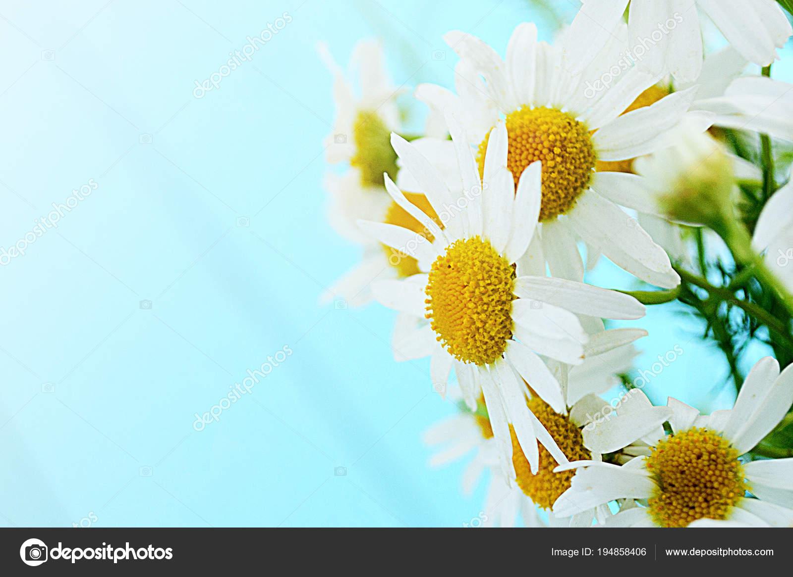 Spring delicate flowers daisies blue wooden background summer spring delicate flowers daisies blue wooden background summer background stock photo izmirmasajfo